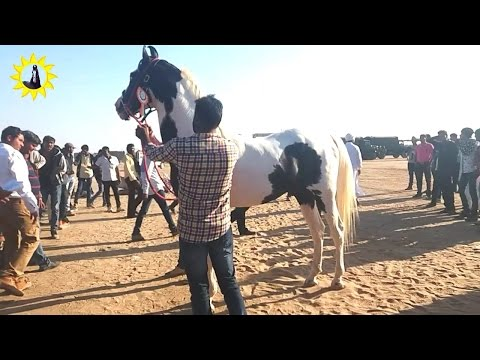 Breeding Stallion horse ring show  Nada Bet 2017