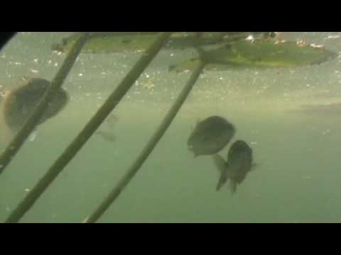 Largemouth Bass Caught Underwater
