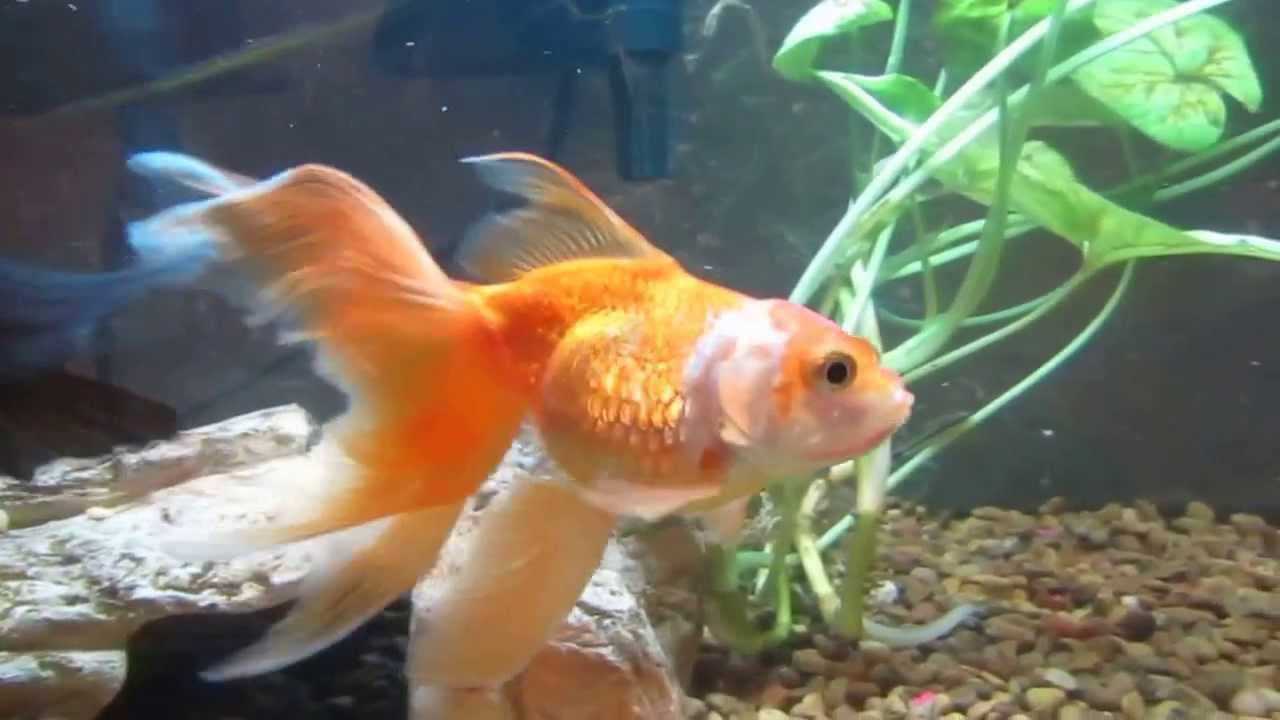 Is My Gold Fish Pregna...