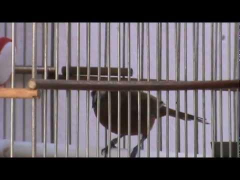fêmea de azulão cantando