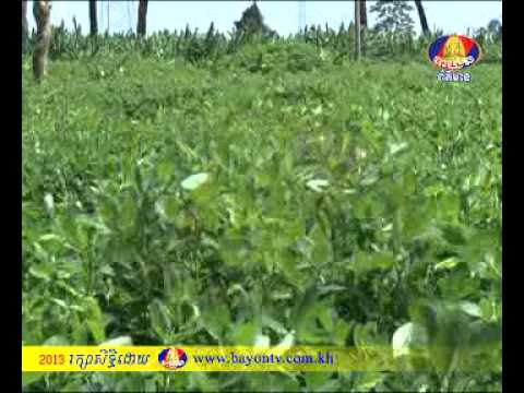 BAYON TV NEWS AGRICULTURE 6-7-2013