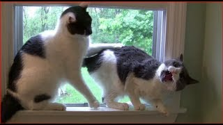 Dramatic Fighting Cats