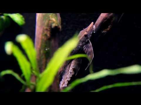 Corner filter (HMF) aquarium with Royal Whiptails HD