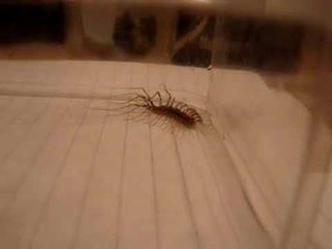 House+centipede+dangerous
