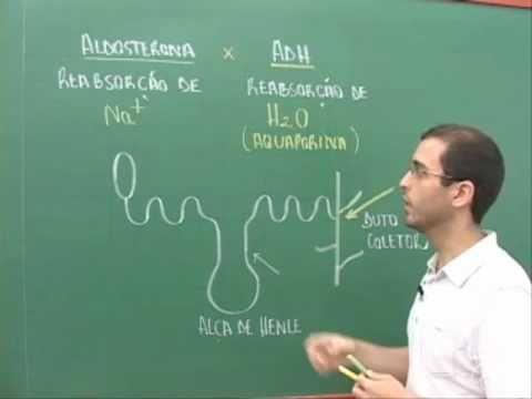 Diferenca da acao dos hormonios ADH e aldosterona (aula) - Império Biológico