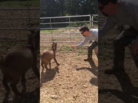 A little goat fighting