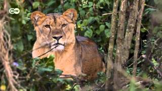 Protecting Ethiopia's mountain lions (Deutsche Welle)