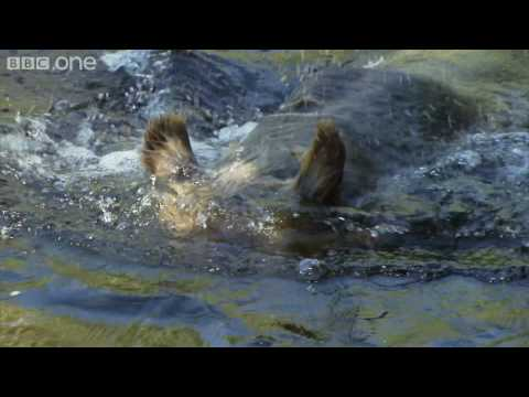 HD: Grizzly Bears' Fancy Footwork - Nature's Great Events: The Great Salmon Run - BBC One