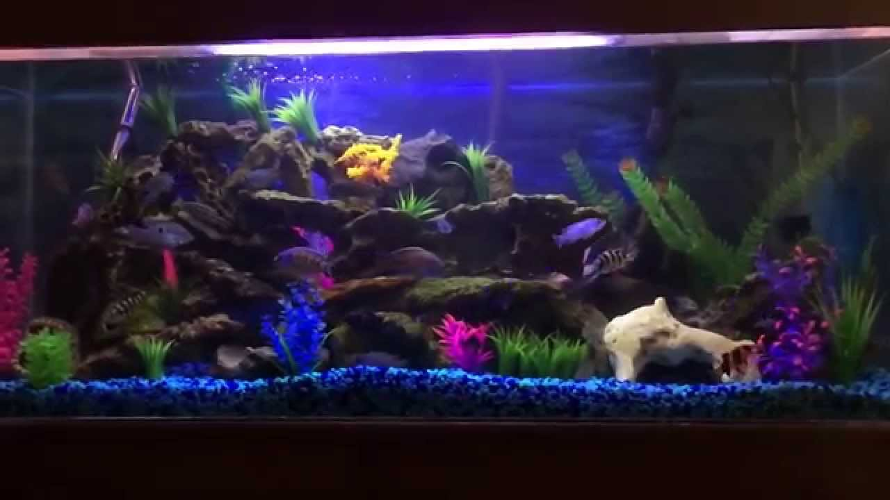 55 gallon african cichlid aquarium fish tank youtube for Fish tank youtube
