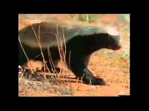 Honey Badger Video Gallery Know Your Meme