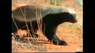 The Crazy Nastyass Honey Badger (original Narration By