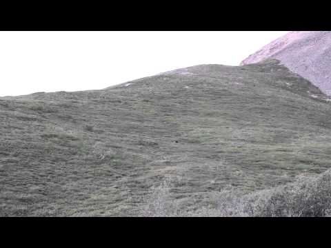 Grizzly Bear rolling down a hill at Denali National Park.