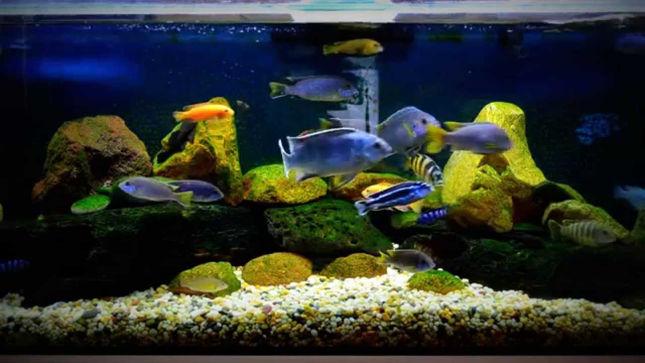My african cichlid tank youtube for Google fish tank mrdoob