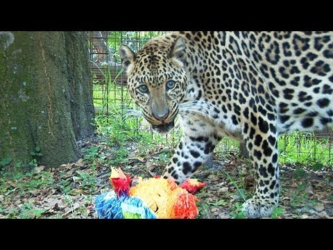 Leopard VS Piñata!