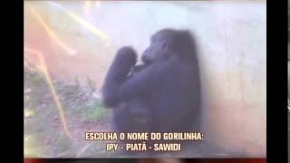 Vota��o para escolher nome de gorilinha que nasceu no zool�gico de BH termina nesta quinta