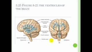 Chapter 8 The Nervous system Part 2