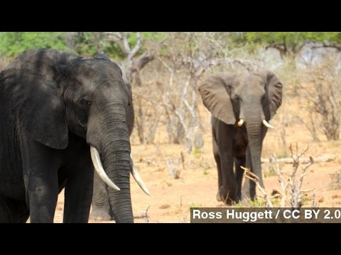 Unsustainable Elephant Poaching Killed 100K In 3 Years