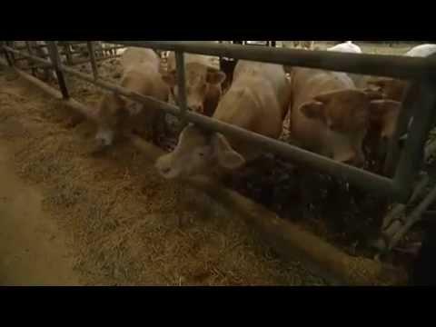 Les raisons de la colère des éleveurs bovins