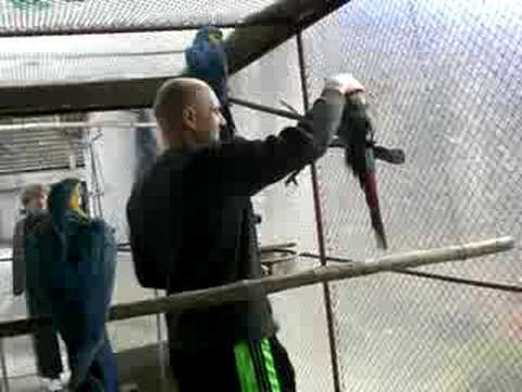 Papagali vorbitori Ara Jako www.pasari-exotice.com Marele alexandru, Crescatorie de papagali