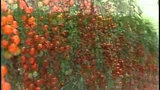 Industria de produccion de tomates en invernadero