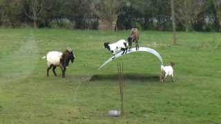 Goats balancing on a flexible steel ribbon