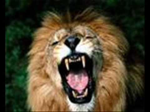 como leão que ruge