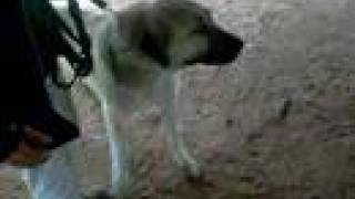 Kurdish Shepherd Dog Kangal VS.African Lion Dog Fight (New