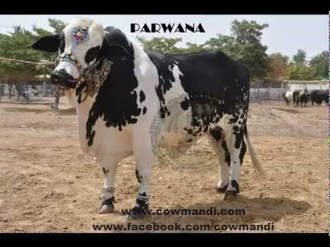 Shah Cattle Farm & Surmawala Cattle Farm 2012 Video