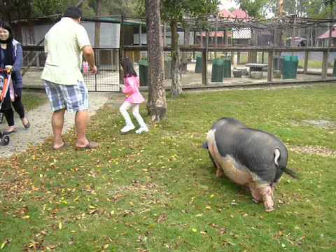 potbelly pig at Wanpi World Safari Zoo in Tainan