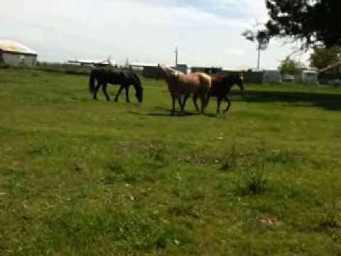 Stallion Mustang stealing mares in herd 5 of 6 - Rick Gore Horsemanship