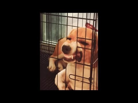Beagle Got His Mouth Stuck In His Cage And Now He Looks So Funny