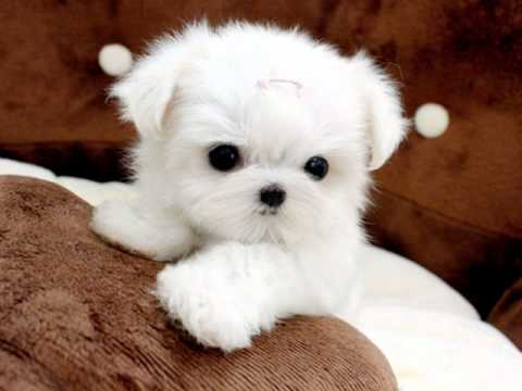 Tiny Teacup Maltese For Sale Ms Puppy Connection, www.mspuppyconnection.com 1-888-743-0325 Visit our site as we have tiny, fabulous quality teacup maltese puppies for sale.