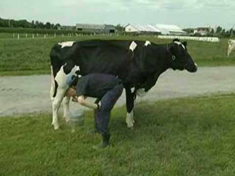 Siêu vắt sữa bò