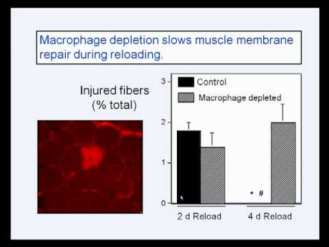 Tidball: Regulatory Interactions between Myeloid Cells and Skeletal Muscle