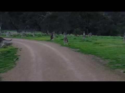Kangaroo horde during bike ride