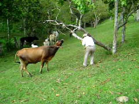 Llevando vacas y terneros para ordeñar