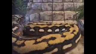 STRIKE-World's Largest Snake, Guinness Records 2011