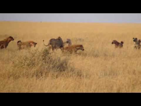 Lion vs Hyena attack - Lion died!