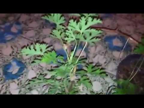 Citronela planta usada para ahuyentar a los mosquitos - Como ahuyentar los mosquitos ...