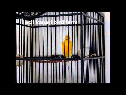 Acil kenari bird farm - My canary ******** - 23januari2011