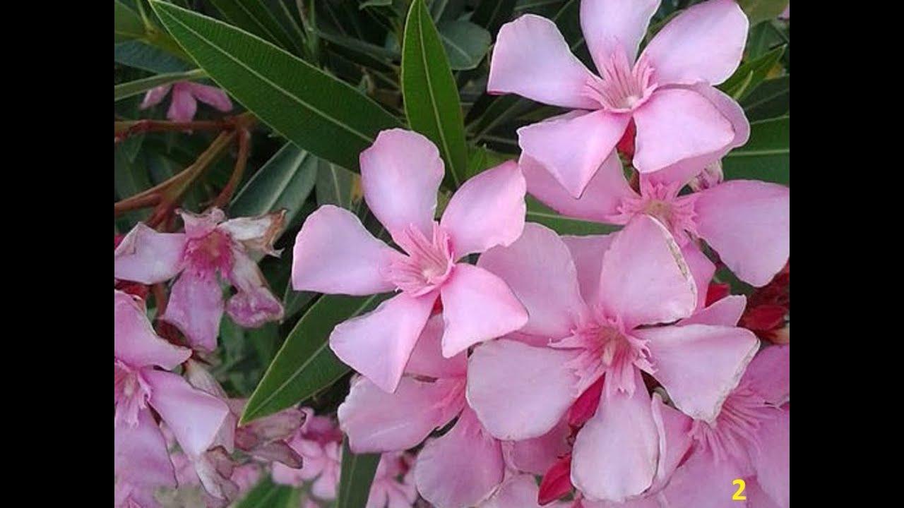 Adelfa planta venenosa conocida como laurel de jard n for Plantas ornamentales wikipedia