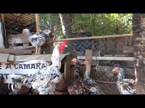 Galo Indio Gigante , linhagem pintado , com frangas e galinhas pintadas