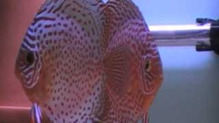 Pair of Leopard Discus Fish From Jeffrey Yang view on youtube.com tube online.
