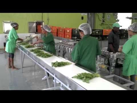 Planta de proceso empaque hortalizas, lechugas. Ceballos