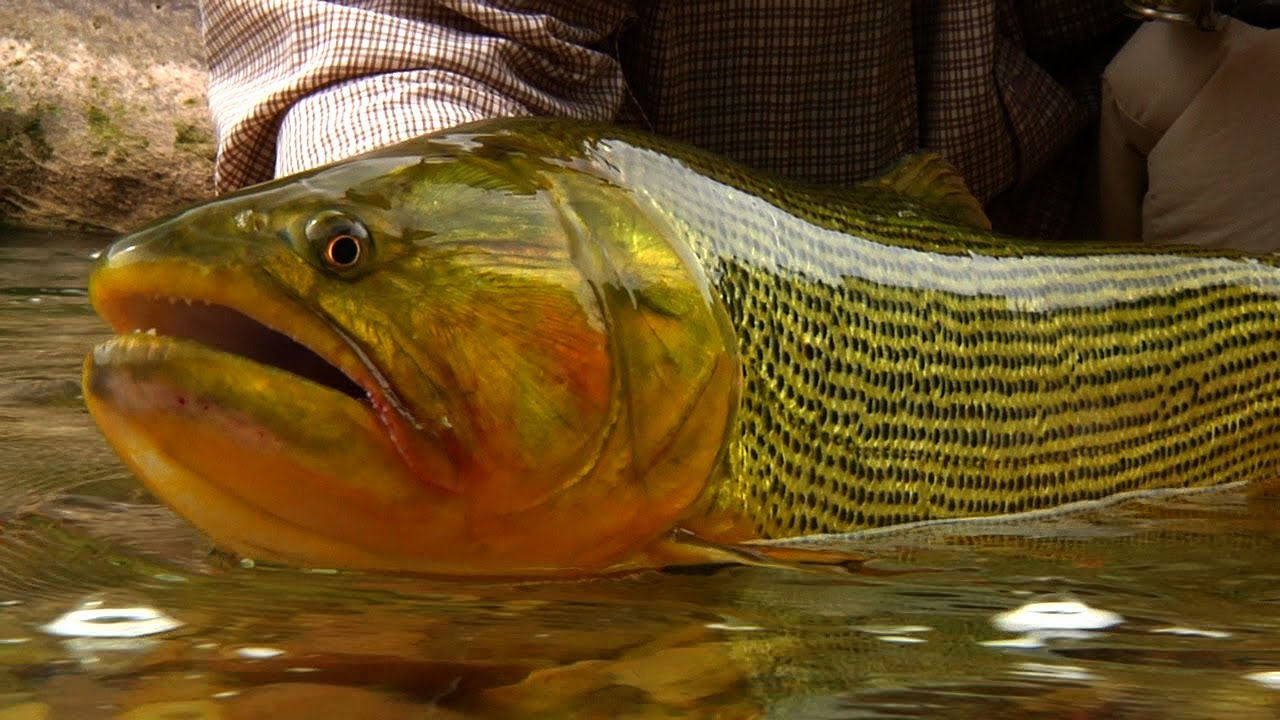 Backcountry golden dorado by todd moen argentina fly for Backcountry fly fishing