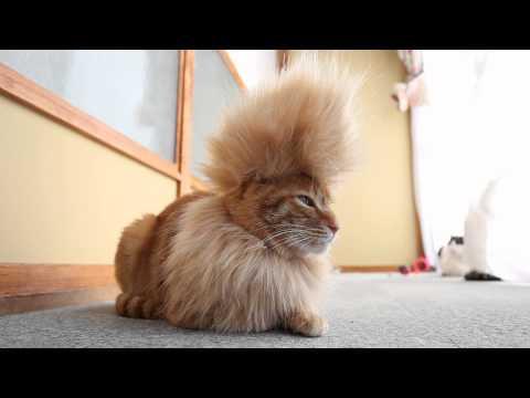 Mohawk Cat 在此!
