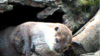 Otter Juggles Stone