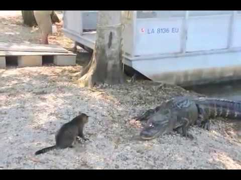 Cat Vs. Gator