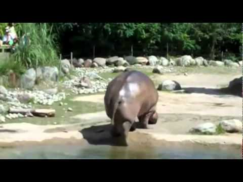 Hippo Explosive Diarrhea hippo farts and has ex...