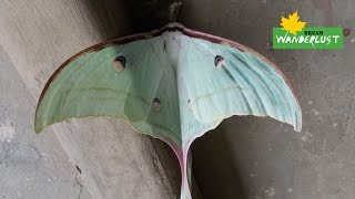 [Beautiful Luna Moth found in Odisha, India] Video